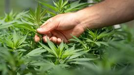 Cannabis sintético Spice produce peores síntomas por abstinencia, revela estudio