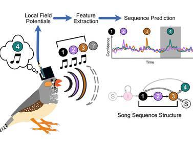 Estudian señales cerebrales de las aves para predecir su canto y así crear prótesis que en el futuro servirían para recuperar el habla en humanos